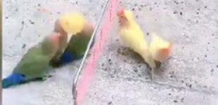 Смышленые попугаи научились играть в волейбол и теперь набирают армию болельщиков в Сети